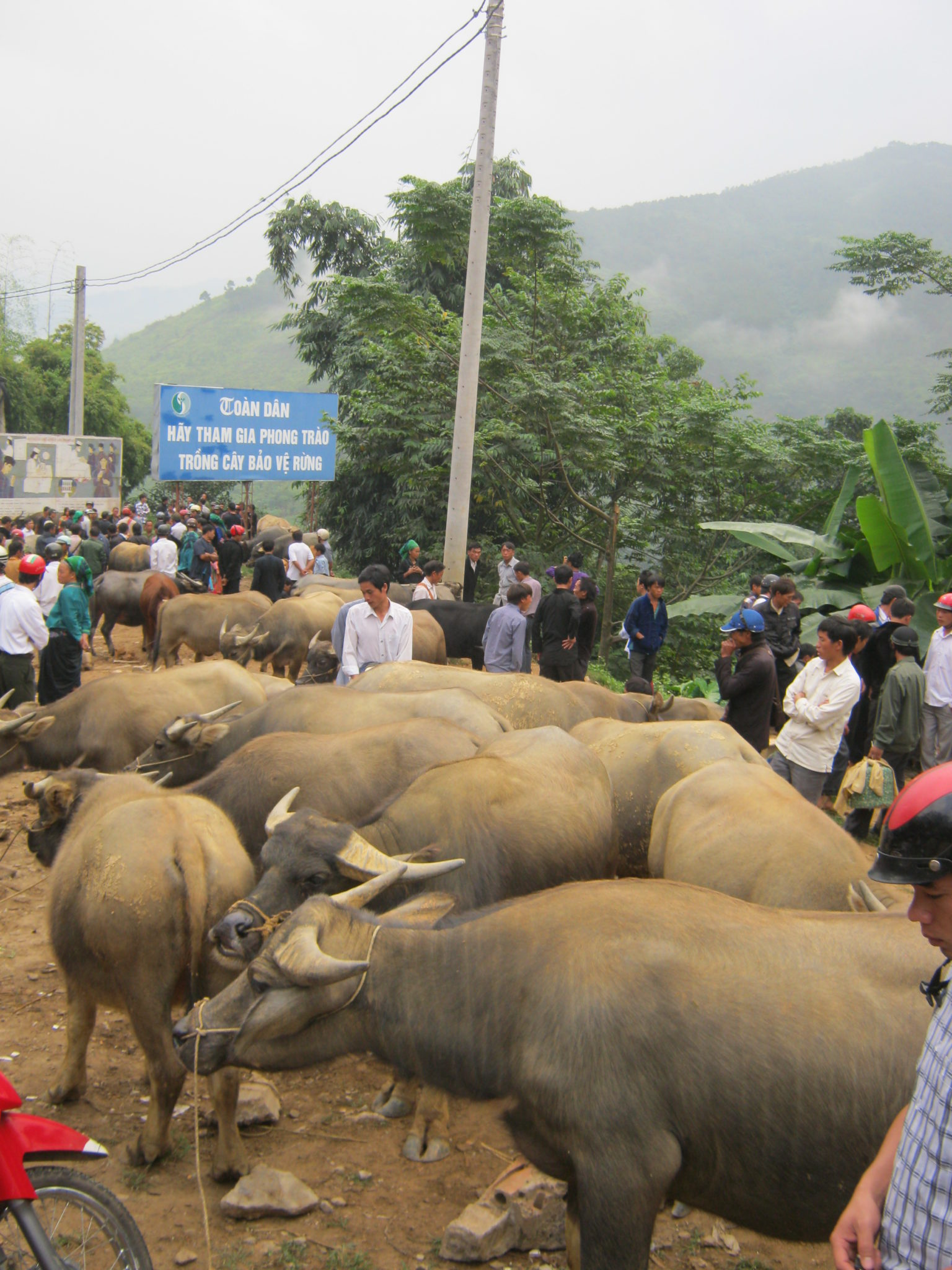 Buffles en vente Marché Xin Man, ou Coc Pai, Ha Giang